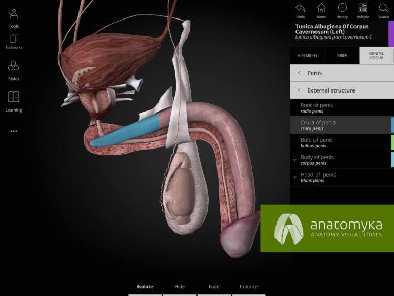 Anatomyka app - Urogenital system