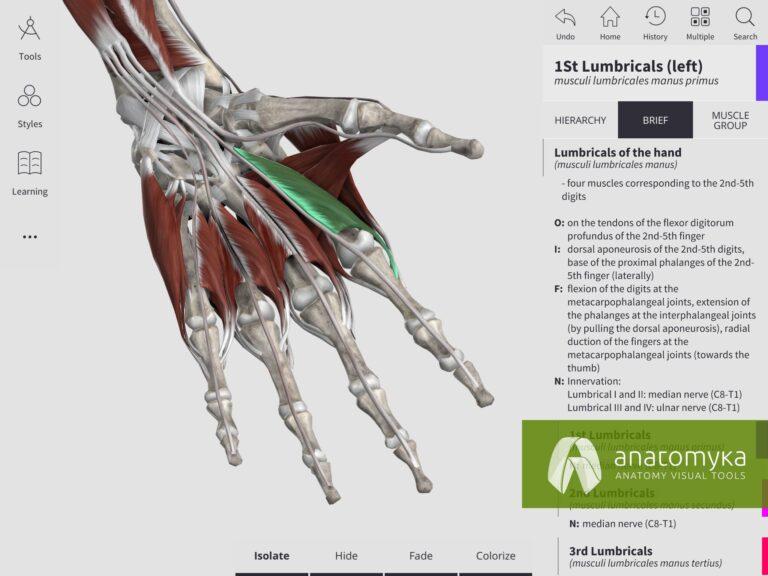 Anatomyka app - Muscular system